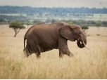 44 Elephant Species are Threatened with Extinction.